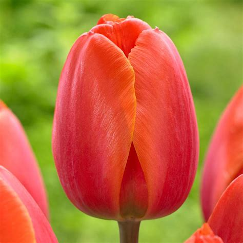pictures of tulip bulbs longfield gardens tulip ad rem bulbs 25 pack 11802265 the home depot