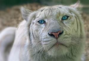 White Liger Images - Reverse Search