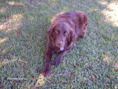 do boykin spaniels shed lab shorthair mix breeds picture