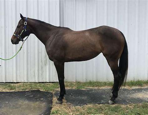 bay dark appendix horse horses hands equinenow registered aqha mare english