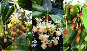 Inflorescences And Flowers Of Medusagyne Oppositifolia At