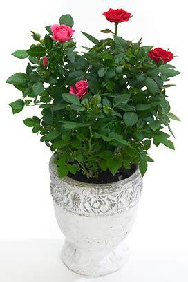 5 conseils pour votre rosier d appartement le pouvoir des fleurs