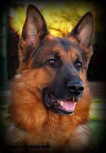 Black And Red German Shepherd Puppies | www.pixshark.com ...