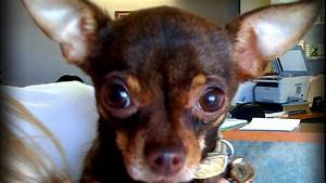 What Do You Do As A Medical Assistant Vaccine Clinic Nearly Kills 8 Year Old Chihuahua Virtuavet