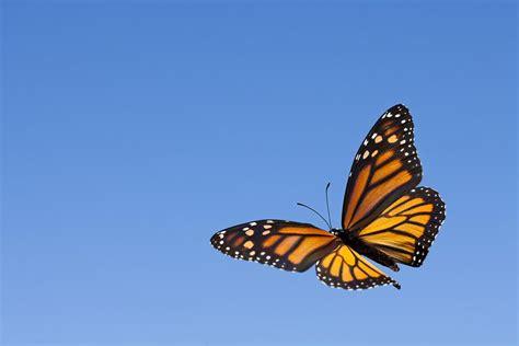 monarch butterflies dont migrate