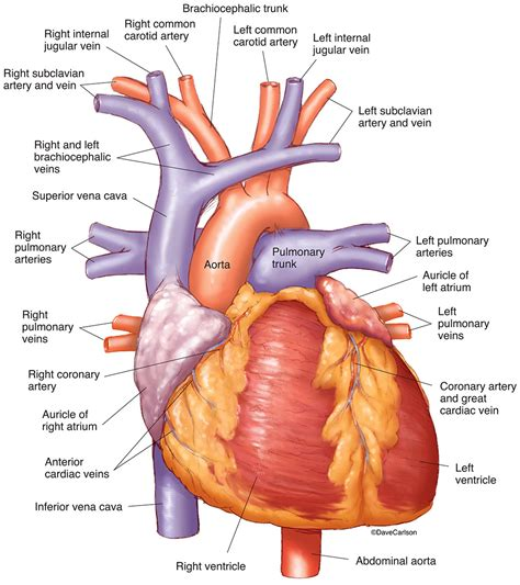 Blood may flow out of the body, as external bleeding, or it may flow into the spaces around organs or. Human Heart - Anterior View   Carlson Stock Art