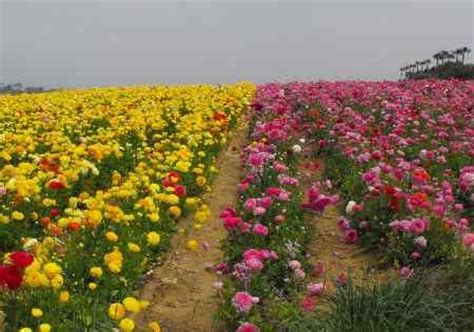 beautiful flower fields  carlsbad flower fields