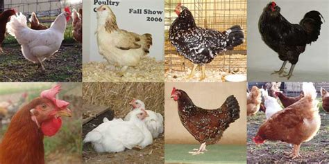 starting  small flock  chickens  agrinews