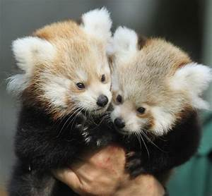 Tierpark Zoo Presents Twin Baby Red Pandas - Zimbio