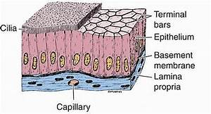 Simple Columnar Epithelium  Function  Structure  Location