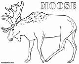 Moose Coloring Pages Drawing Antler Thidwick Hearted Print Outline Getdrawings Realistic Animal Colorings sketch template