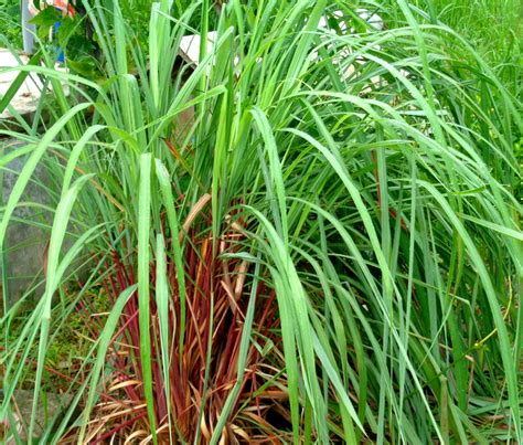 citrinella plant citronella plants protect our home in the philippines from mosquitoes philippines plus