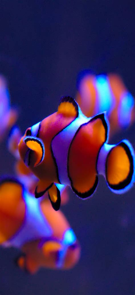 ios clownfish orange blue water apple wallpaper