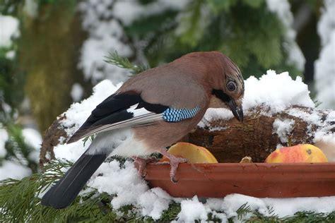 kostenloses foto vogel eichelhaeher fuetterung