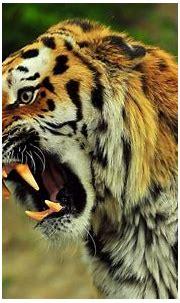 Angry Tiger wallpaper | animals | Wallpaper Better