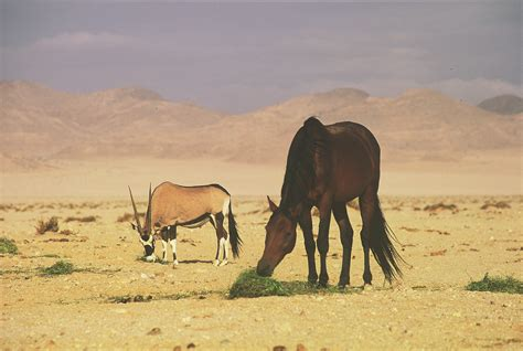 horses horse desert wild namibia germany gondwana animals grazing gemsbok pferde africa nutrients during collection long celebrating century remembering