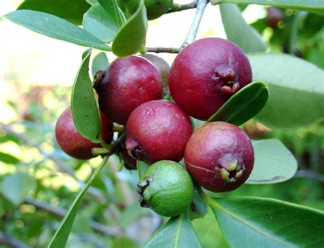Forum Tropical Fruit Trees Successfuly Grown In Sydney