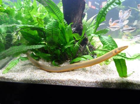 erpetoichthys calabaricus reproduction poissons roseaux