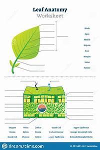 Leaf Anatomy Worksheet Vector Illustration  Labeled Blank Biology Closeup  Stock Vector