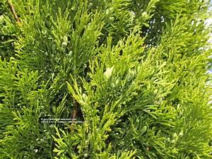 Thuja Smaragd Düngen : tuja smaragd tuja z padn smaragd thuja occidentalis ~ Michelbontemps.com Haus und Dekorationen