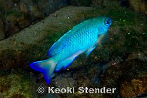 Neon Damselfish Pomacentrus coelestis