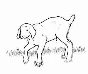 Goat Drawings