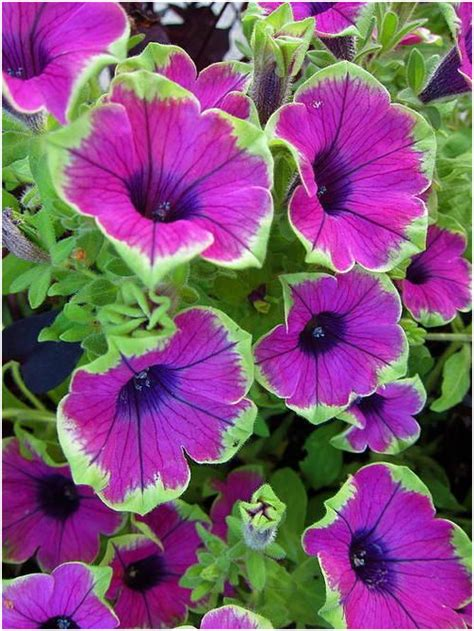 Cool Product Alert The Petunia Sky Plant by Pin By On Petunias Tr 228 Dg 229 Rd Ideer Blommor