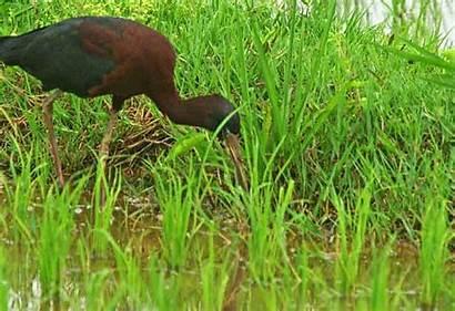 Wildlife Ibis Okinawa Japan Bird Glossy Kin