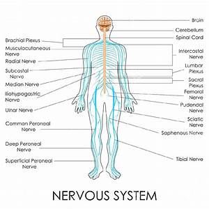Diagram  Central Nervous System Diagram For Kids