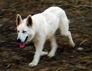 White Tamaskan Dog