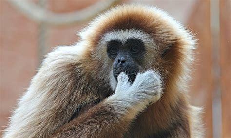 White-handed Gibbon Monkey · Free Photo On Pixabay