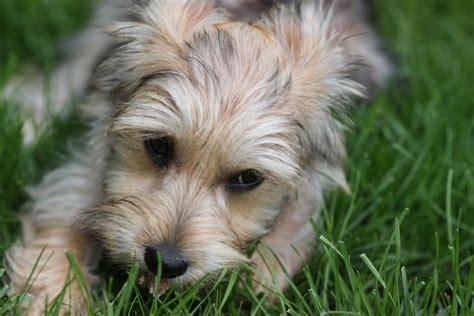 Do Bichon Yorkies Shed by Bichon Yorkie Designer Dogs Breed Standards