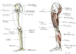Leg Anatomy Human Body