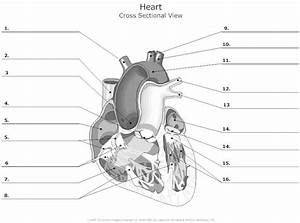 Unlabelled Heart Diagram