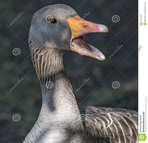 goose  open mouth royalty  stock image image