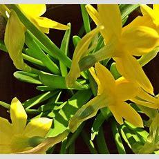 Osterglocken  Osterglocken, Fotografie, Gelb, Blumen Von