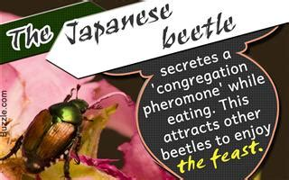 interesting facts  june bugs