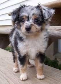 Aussiedoodle Dog Breed
