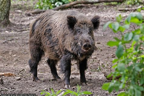 An Encounter With A Viennese Wild Boar