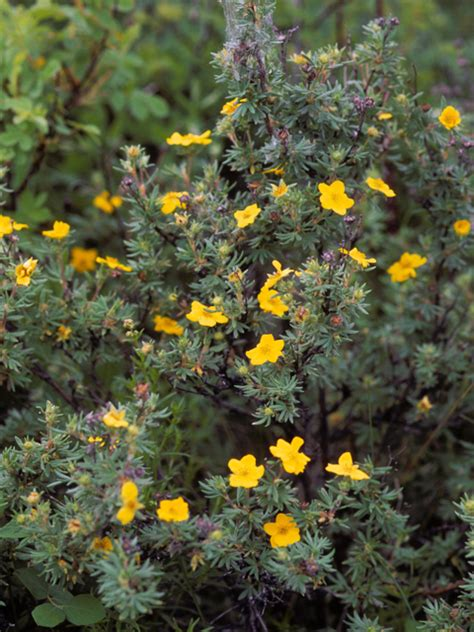 Dasiphora fruticosa ssp. Floribunda - Jersey-Friendly Yards
