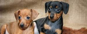 Hunde Größe Berechnen : deutscher pinscher wesen charakter infos ~ Themetempest.com Abrechnung