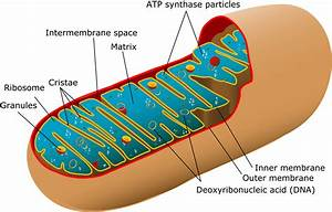 mitochondria - definition - What is