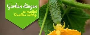 Wie Wachsen Gurken : anleitung zum d ngen von gurken so geht 39 s ~ Eleganceandgraceweddings.com Haus und Dekorationen