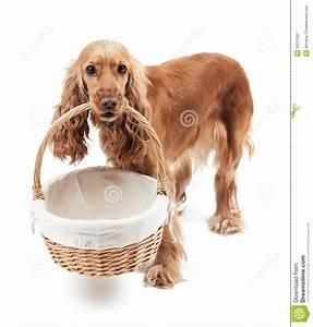 Einen Korb Bekommen Englisch : roter hund der einen korb h lt stockbild bild von wei spaniel 34272297 ~ Orissabook.com Haus und Dekorationen