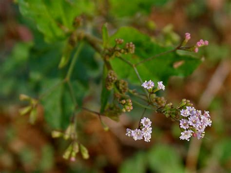 Boerhavia erecta - Wikipedia