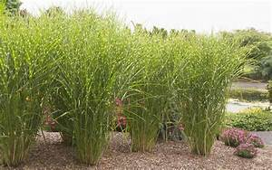 Miscanthus Sinensis Strictus : porcupine grass hedge images ~ Michelbontemps.com Haus und Dekorationen