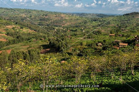 Coffee is a major cash crop in rwanda, and over the years has grown from being just a popular crop in certain areas to become a family tradition for some families across the country. Photos and pictures of: Coffee plantation, Mabara, near ...