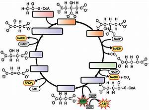 Calvin Cycle Blank Diagram