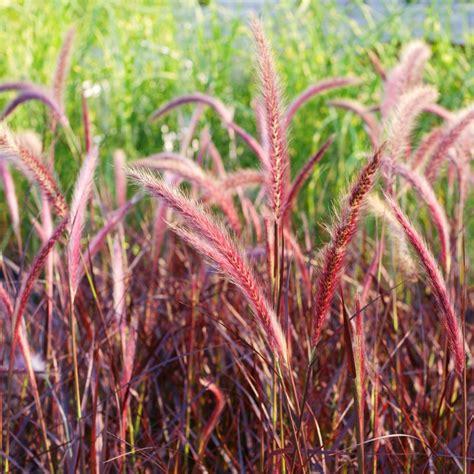 grass purple pennisetum setaceum rubrum purple fountain grass 3 jumbo plug plants brookside nursery