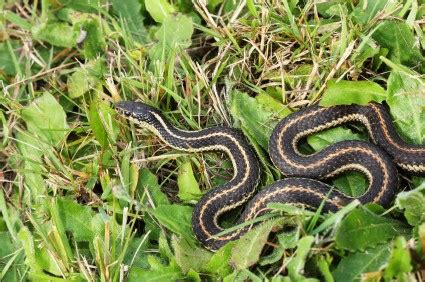 how to get rid of garden snakes how to get rid of garter snakes thriftyfun